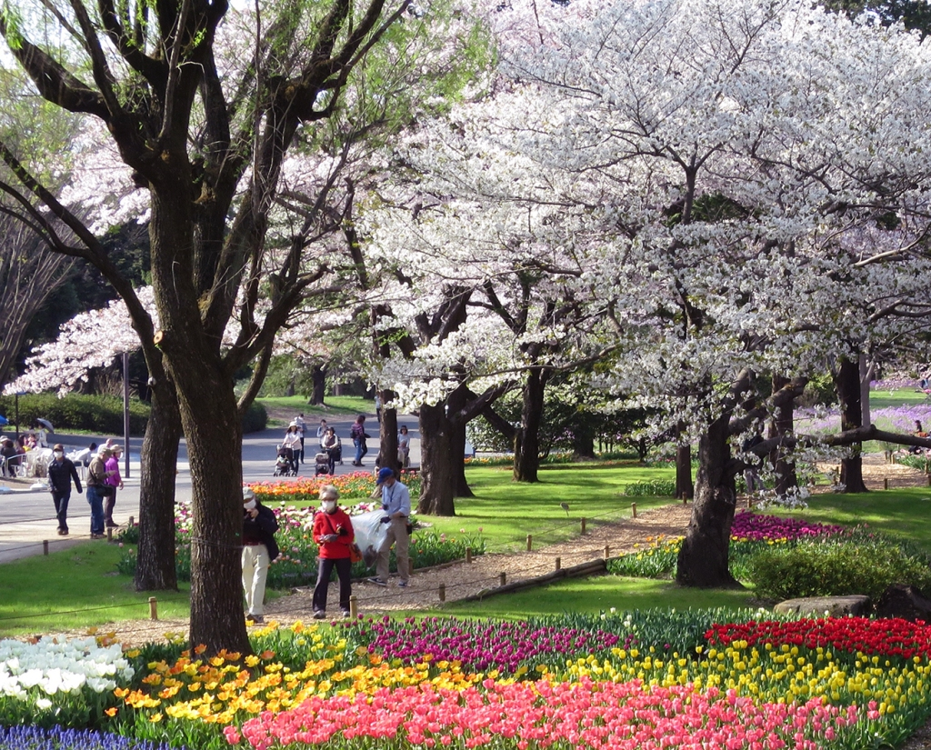 People strolling by tulips and cherry trees in Showa Kinen Park
