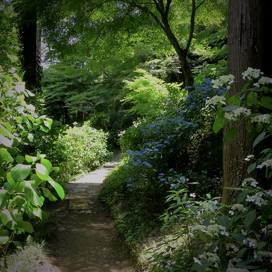 Blooming hydrangeas on pilgrimage hike at Takahata Fudo-san