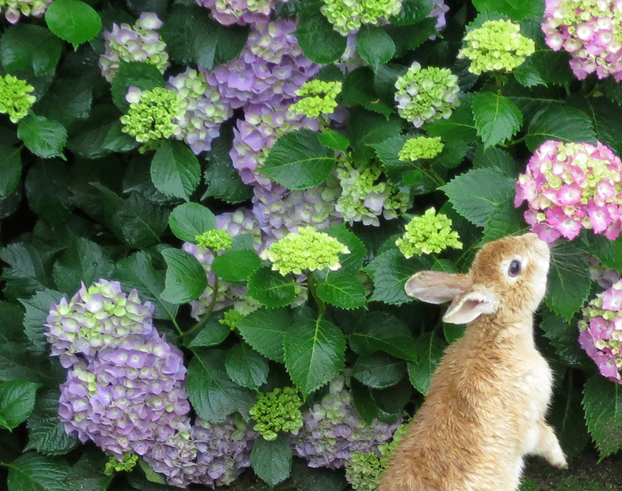 Blooming hydrangeas and a rabbit on Okunoshima Bunny Island in Japan