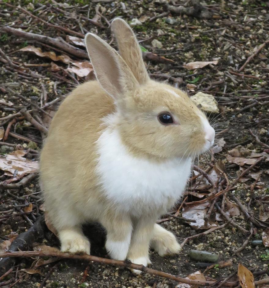 Cute rabbit on Okunoshima Bunny Island