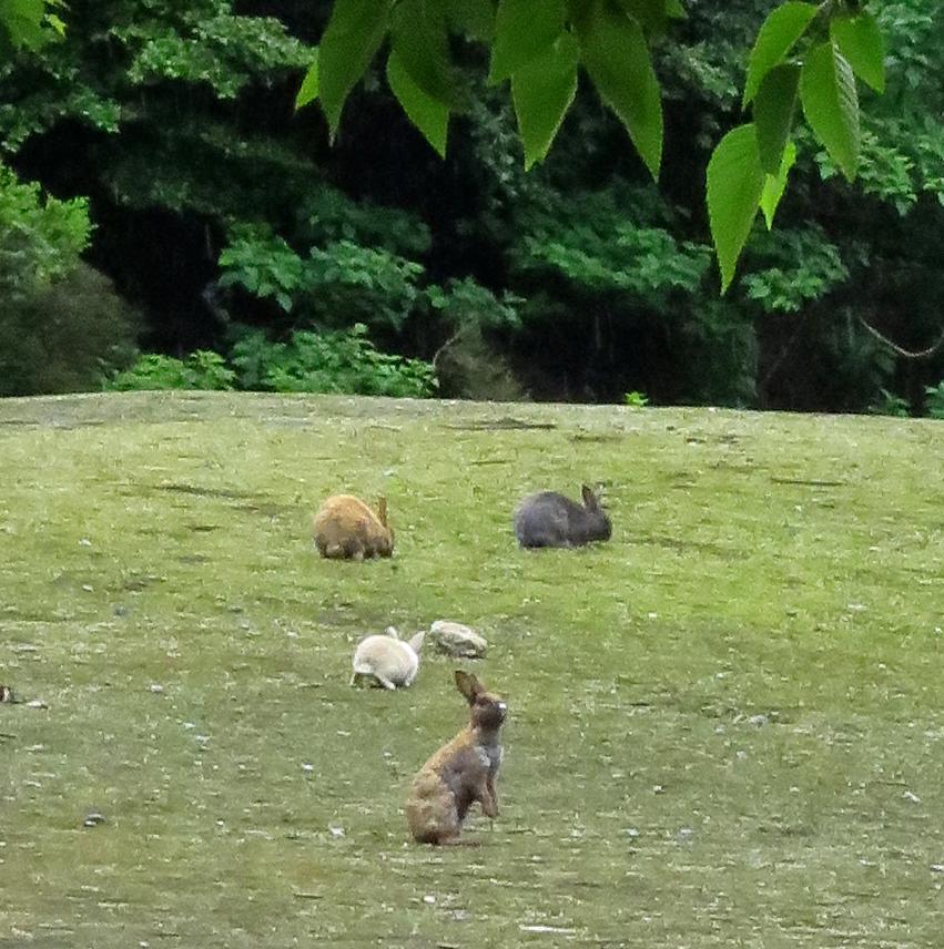 Rabbits in a field on Okunoshima Bunny Island