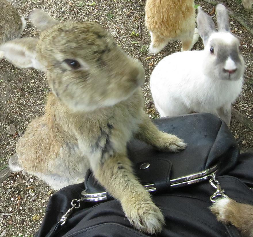 Rabbits gathering around to be fed on Okunoshima Bunny Island