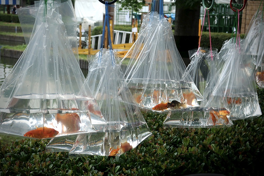 Goldfish in bags at Japanese summer festival in Edogawa