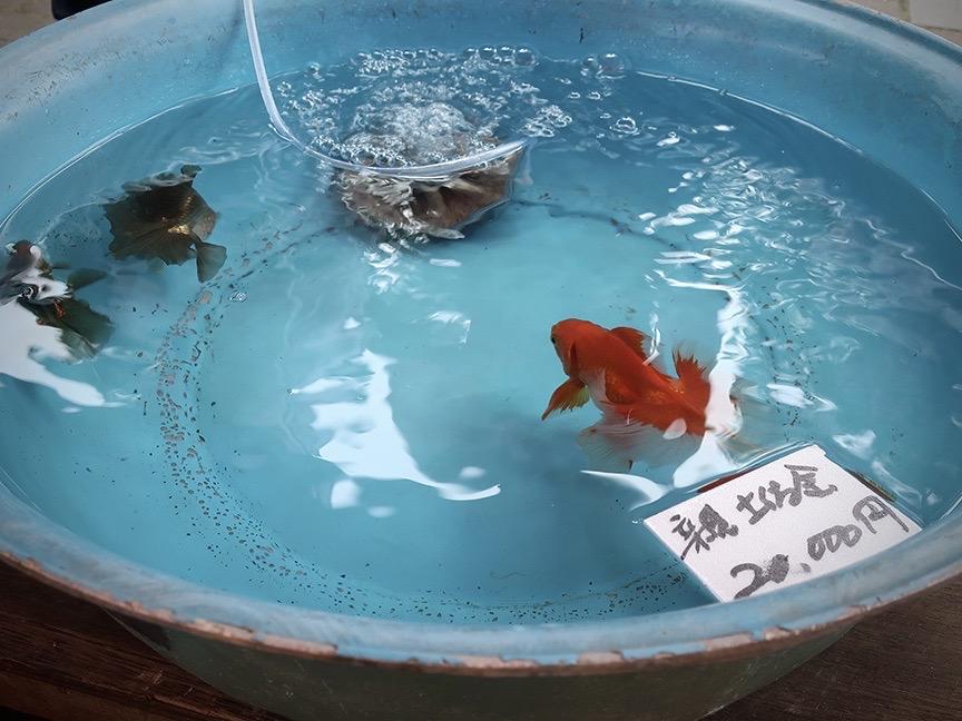 Goldfish at the Edogawa Goldfish Festival