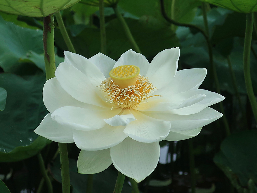 Lotus flower blooming at Gyoda Ancient Lotus park Gyoda Hasu-en