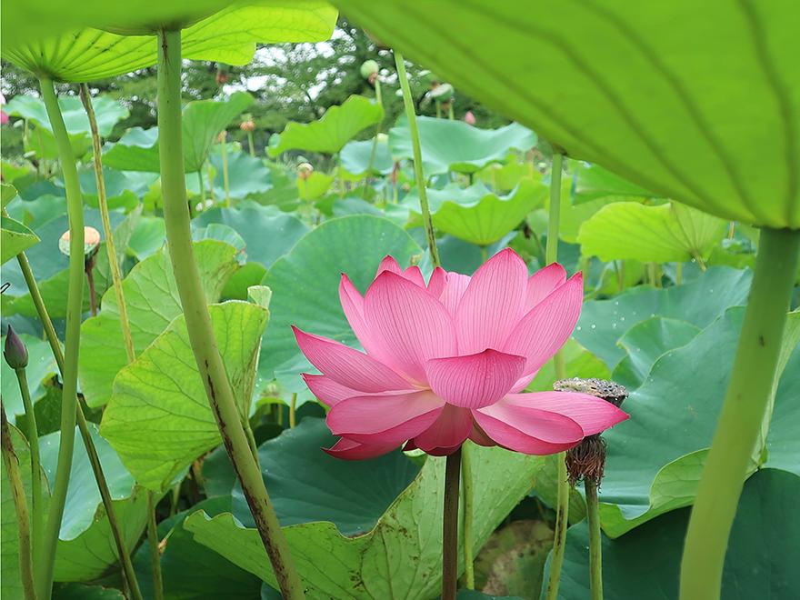 Lotus blooming at Gyoda Ancient Lotus park Gyoda Hasuen