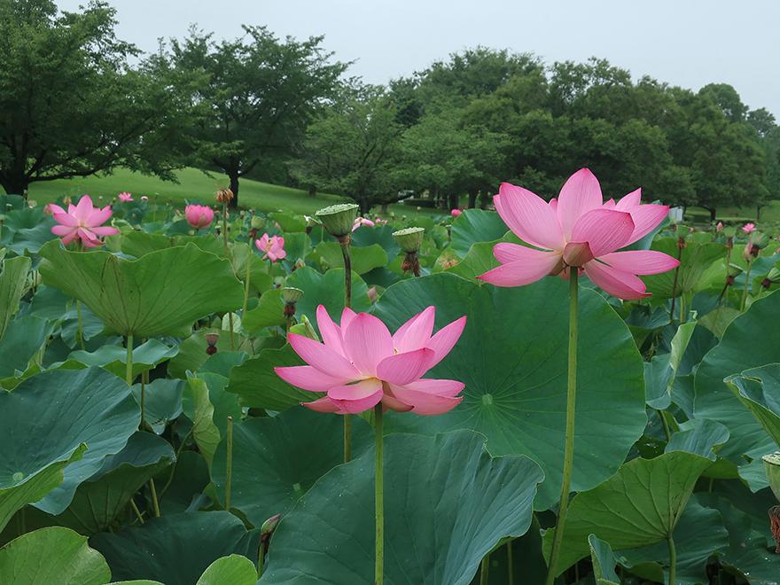 Lotus flowers blooming at Gyoda Ancient Lotus park Gyoda Hasu-en