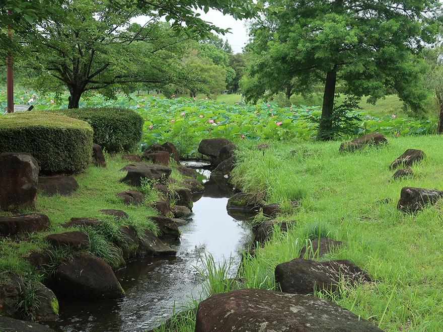 Lotus pond and stream at Gyoda Ancient Lotus park Gyoda Hasu-en