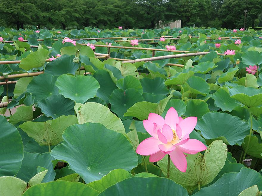 Boardwalks crossing pond of lotus flowers blooming at Gyoda Ancient Lotus park Gyoda Hasu-en