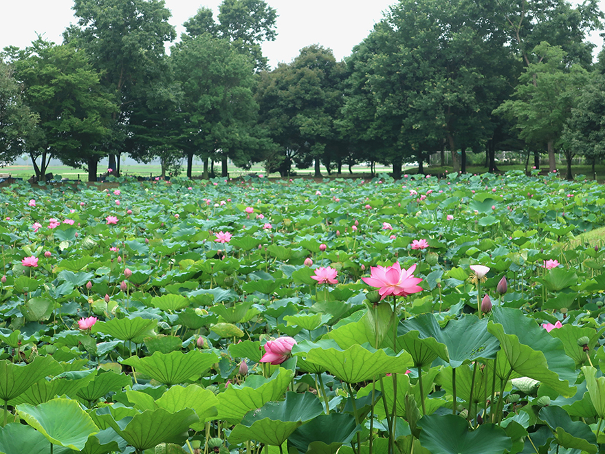 Pond of lotus flower blooming at Gyoda Ancient Lotus park Gyoda Hasu-en