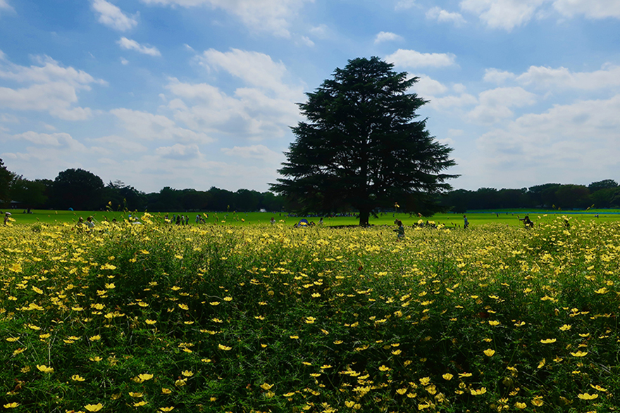 Yellow cosmos blooming at Showa Kinen Park in Tachikawa