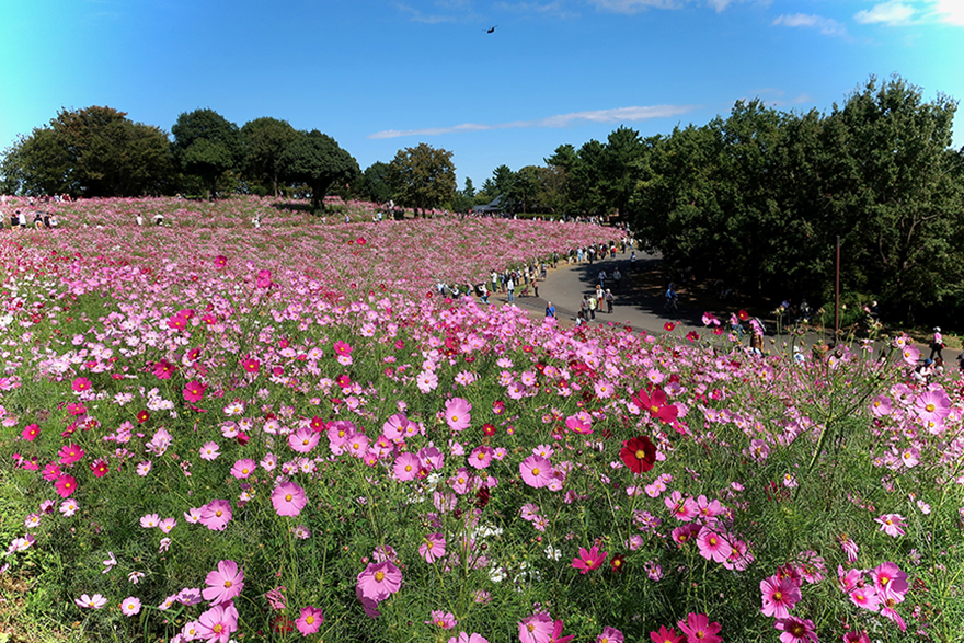 Purple cosmos blooming at Showa Kinen Park in Tachikawa