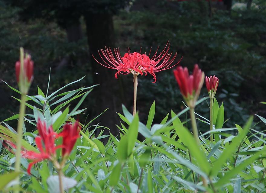 Higanbana red spider lilies amaryllis blooming at Korakuen garden in Tokyo