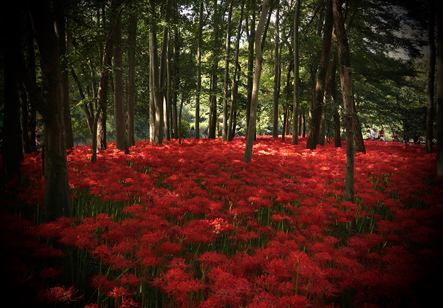 Higanbana red spider lilies amaryllis blooming at Koma, Japan
