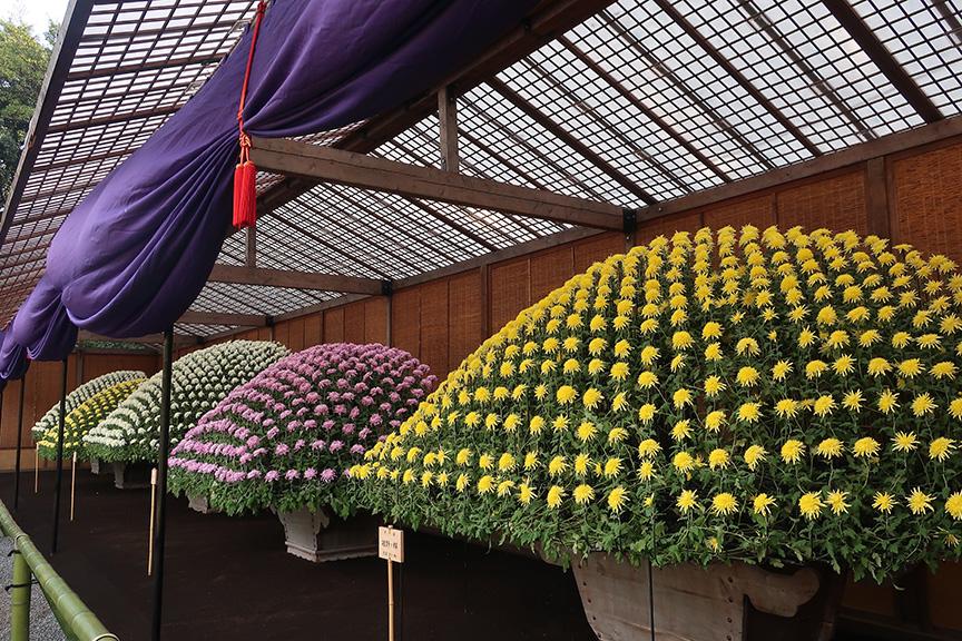 Bonsai chrysanthemums at the Shinjuku Gyouen National Garden in Tokyo