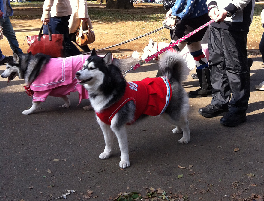 Huskies dressed in schoolgirl uniform costumes