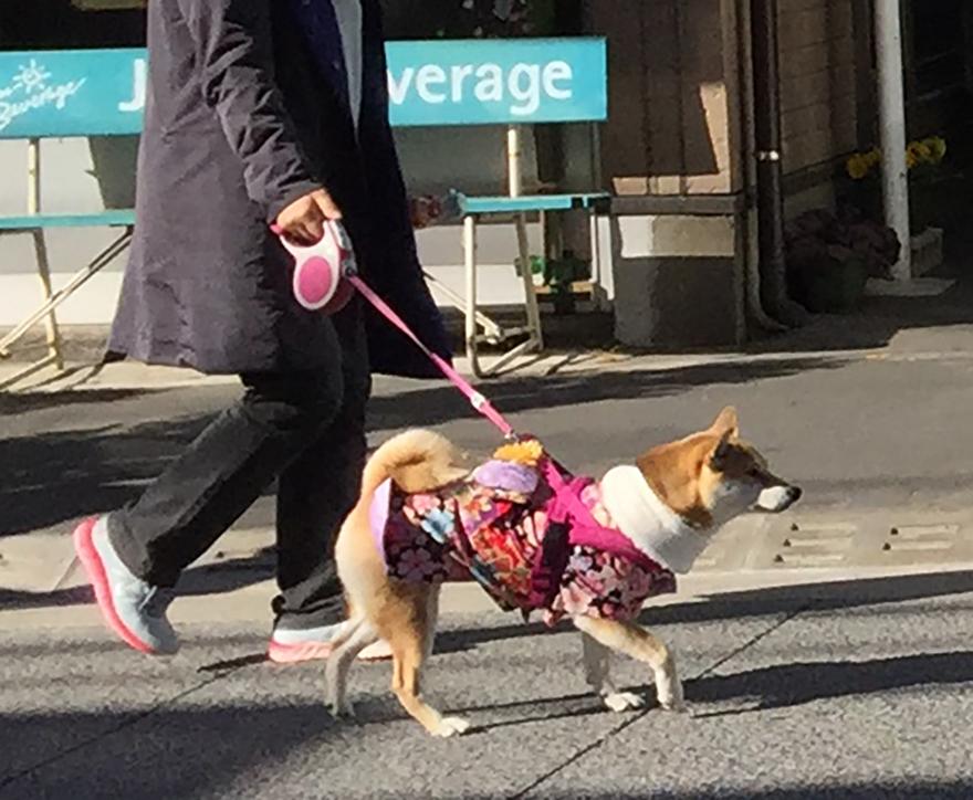 Shiba inu dog in kimono at New Years