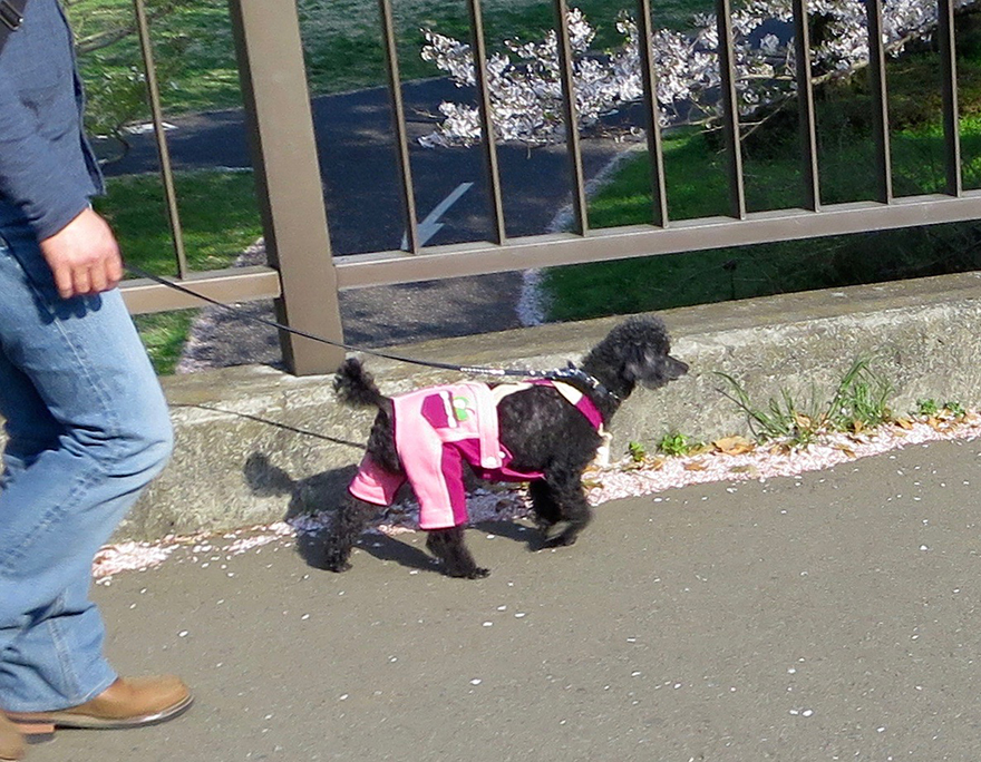 Dog wearing pink pants