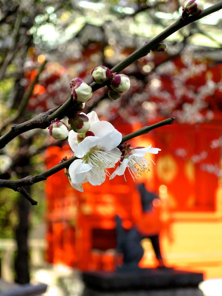 Plum blossoms at Kanda Myojin shrine