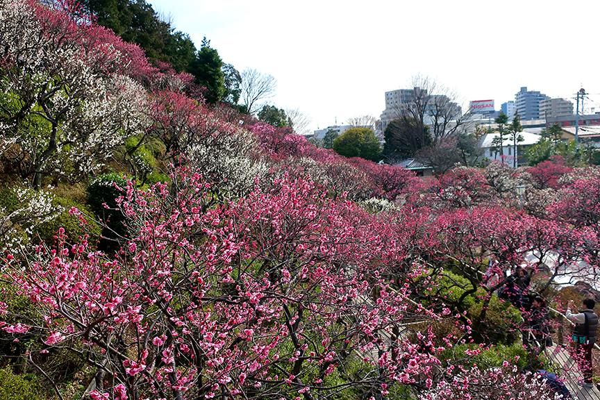 Plum blossoms at Ikegami Honmonji Bai-en
