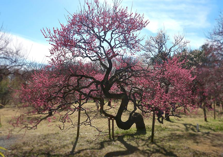 Plum tree at Jindai botanical garden