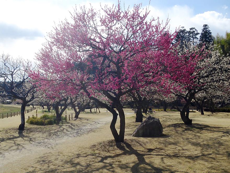 Plum blossoms at Kairakuen garden