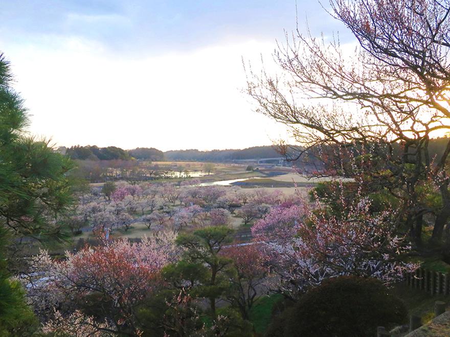 Overview of plum blossoms at Kairakuen garden