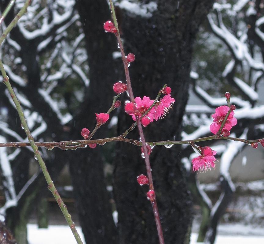 Plum blossoms in snow at Koshikawa Korakuen garden