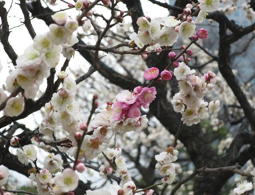 Plum blossoms at Kyu Shiba Rikyu Teien