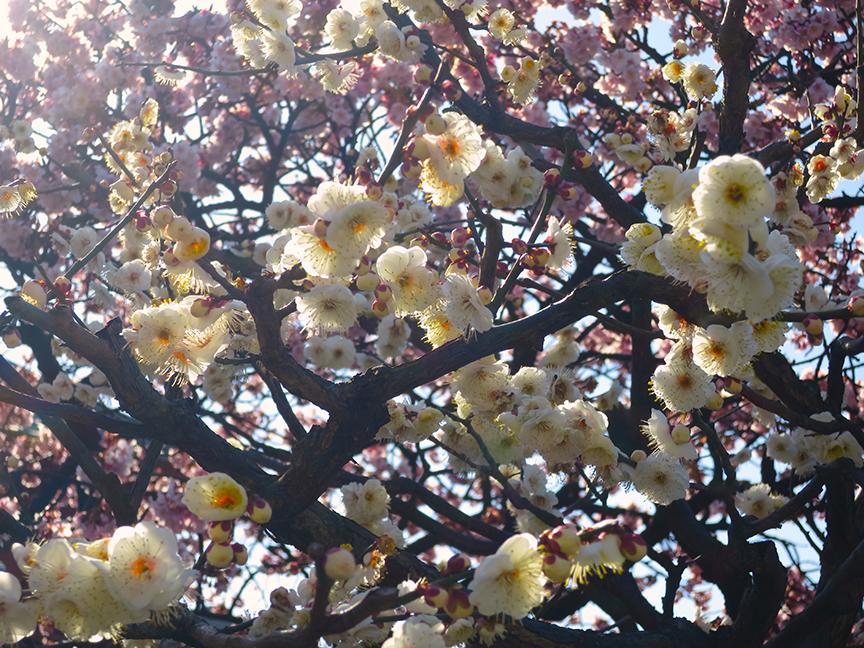 Plum blossoms at Nisharai Daishi temple