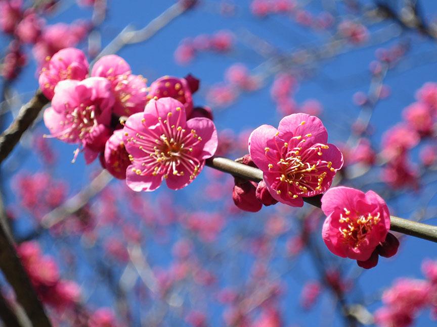 Dark pink plum blossoms