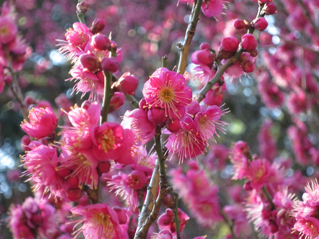 Red pink plum blossoms
