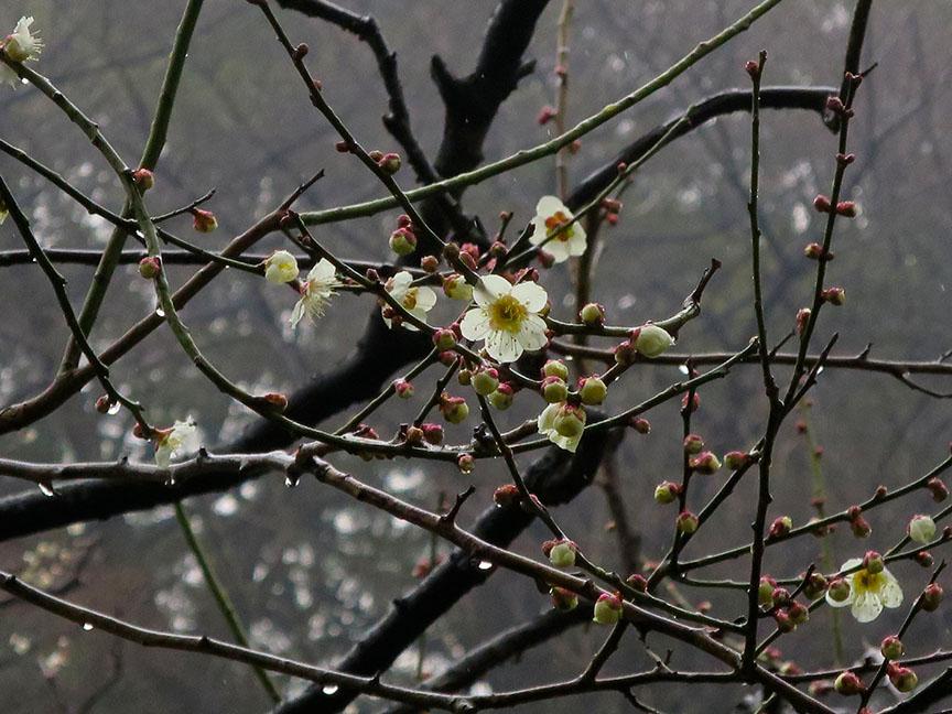 Plum blossoms at Shinjuku Gyoen
