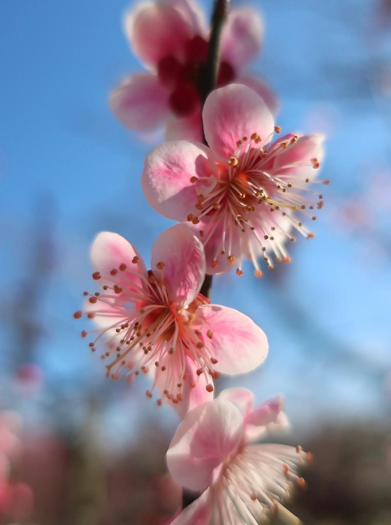 Pink plum blossoms