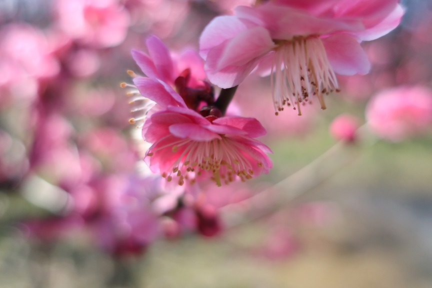 Double pink plum blossoms