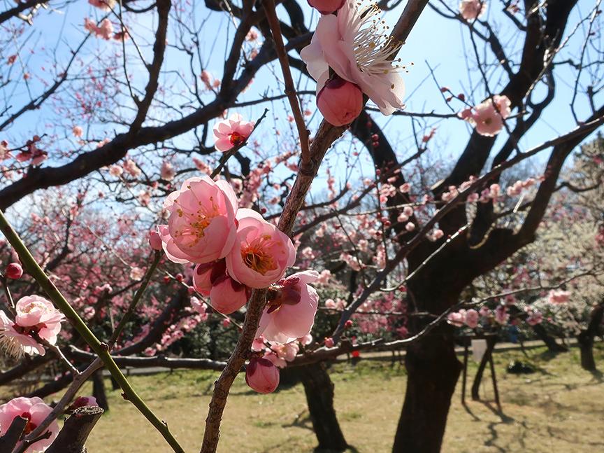 Plum blossoms at Jindai botanical garden