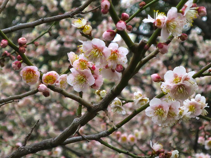 Plum blossoms at Yushima Shrine