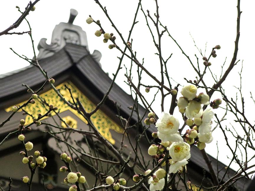 Plum blossoms at Yushima Tenjin shrine
