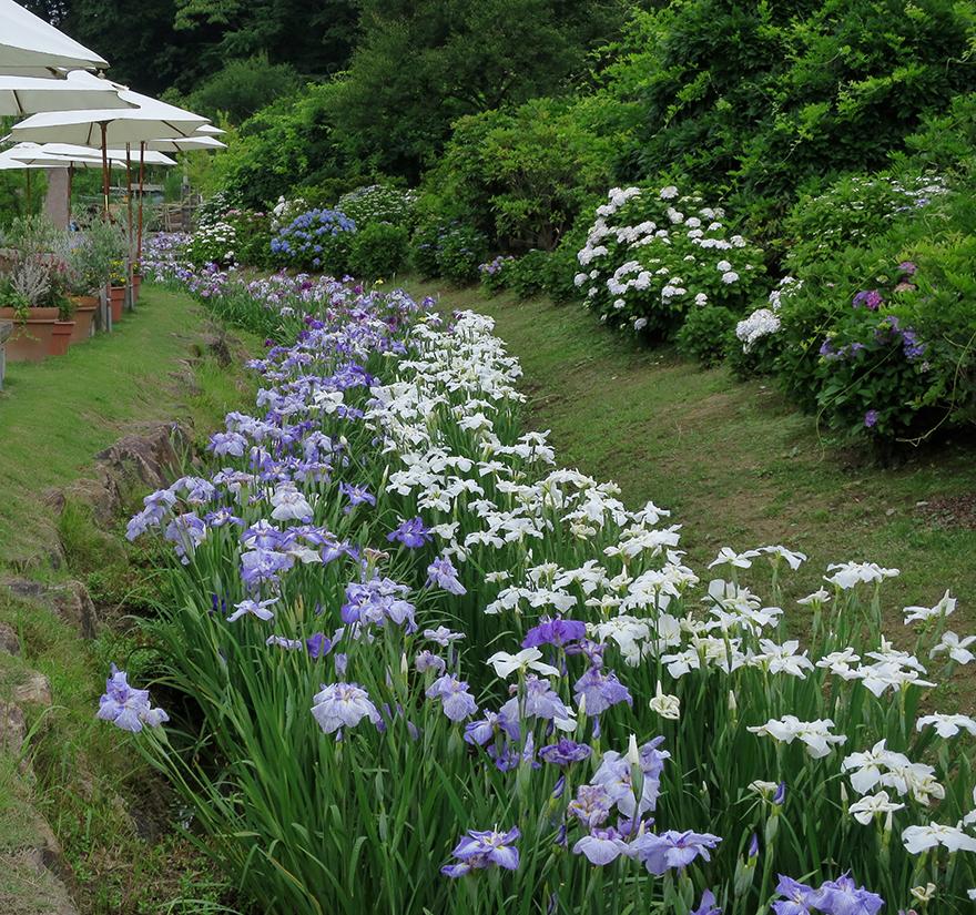 Iris in bloom at Ashikaga Flower Park