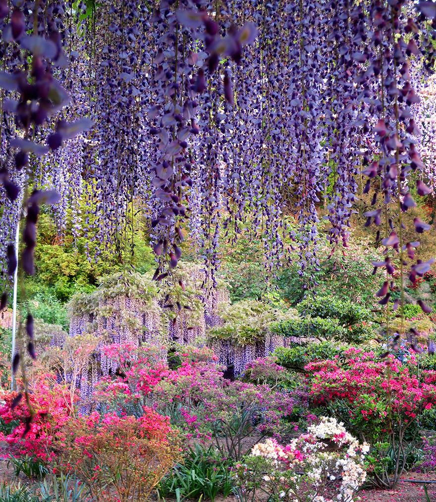 Wisteria and azaleas at Ashikaga Flower Park