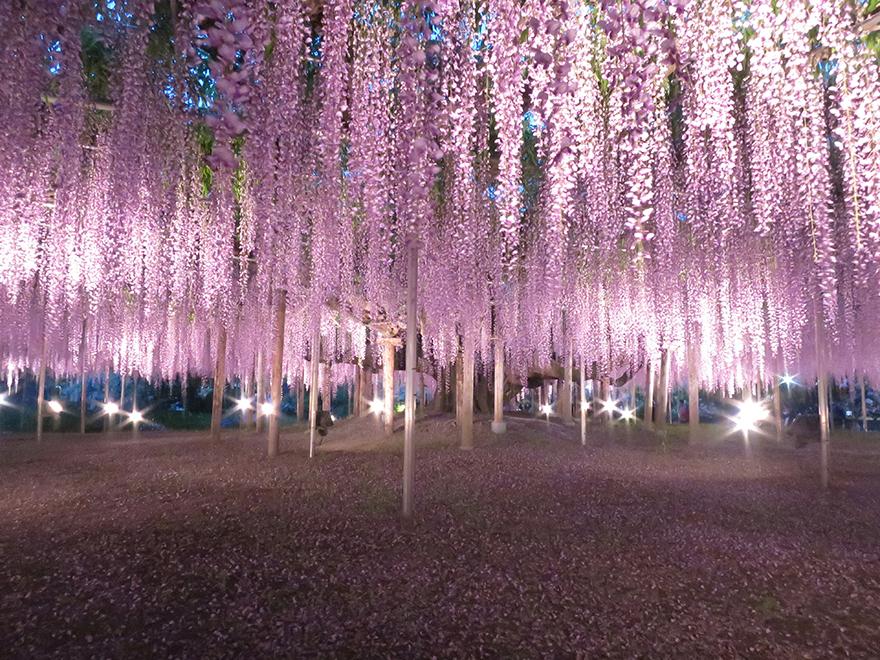 Giant wisteria at Ashikaga Flower Park