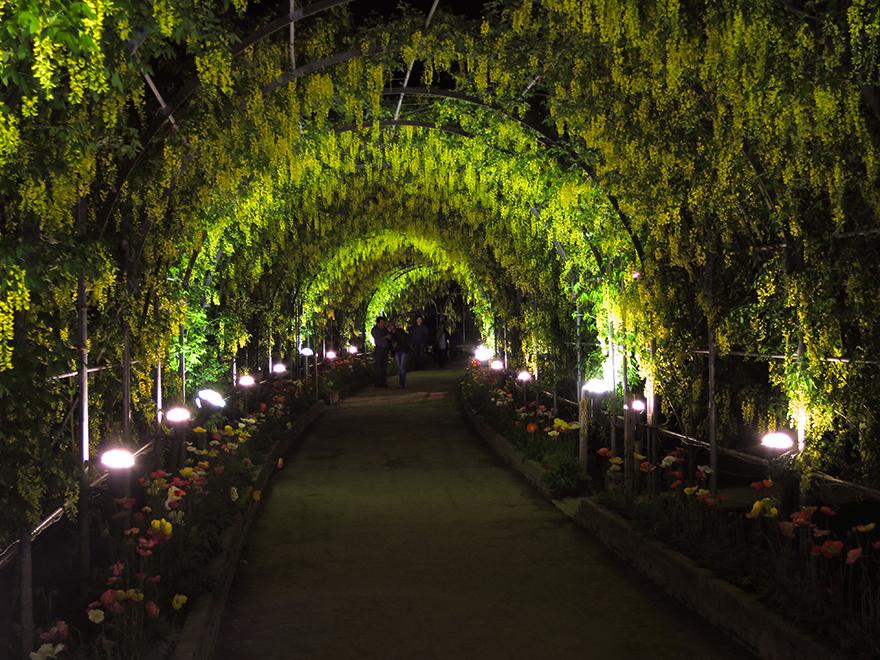 Wisteria tunnelat Ashikaga Flower Park