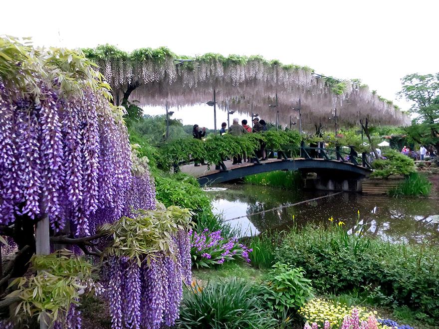 Wisteria at Ashikaga Flower Park