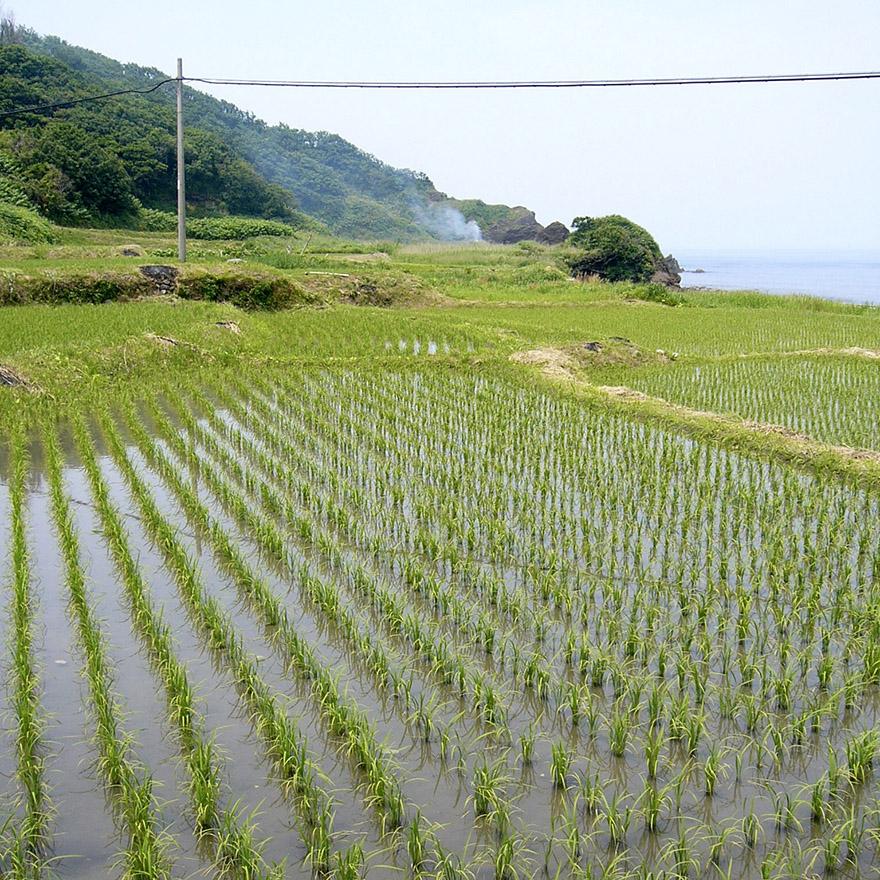 Rice growing on Sado Island